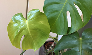 玄関先に置くと育てやすい観葉植物【モンステラ】